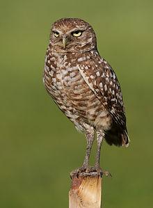 220px-Burrowing_Owl_4354